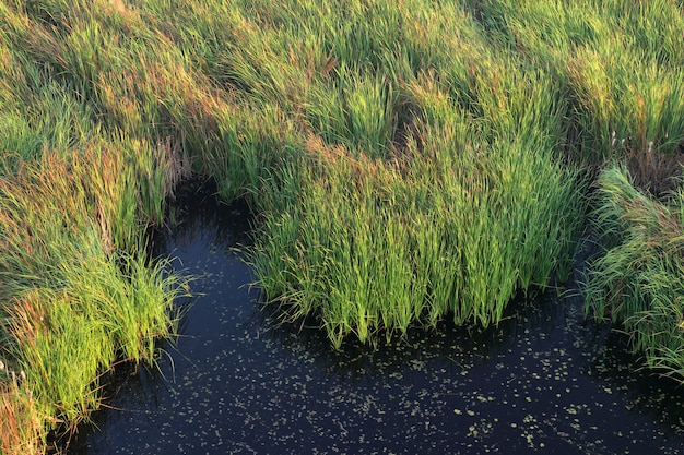Paisagem do pântano com grama