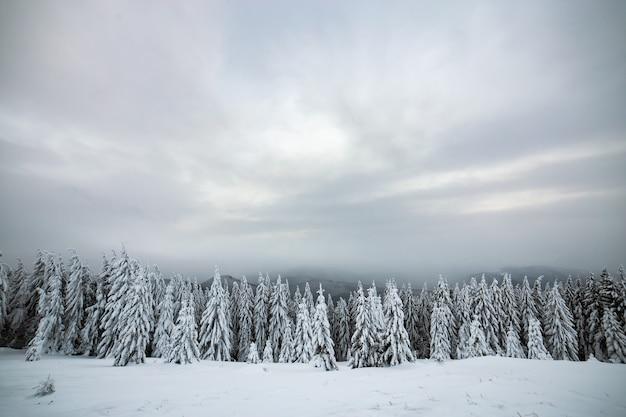 Paisagem dramática do inverno com floresta de abetos encolhida com neve branca em montanhas congeladas frias.
