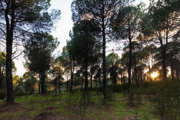 Paisagem em uma floresta de pinheiros perto de granadilla. extremadura. espanha.