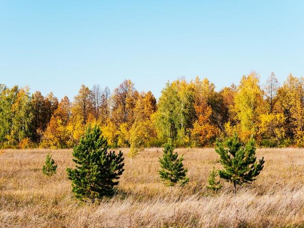 Paisagem ensolarada pitoresca de outono. campo com grama seca, árvores de natal verdes, árvores amarelas contra o céu azul. belas árvores de outono.