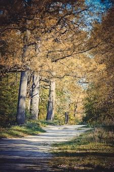 Paisagem florestal - estrada de terra, três velhos carvalhos altos, o filtro