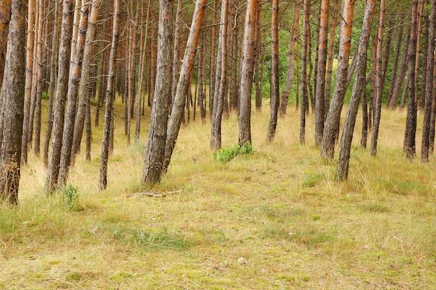 Paisagem gramada com pinheiros