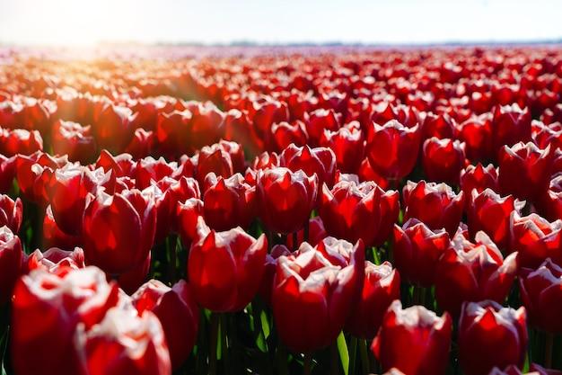 Paisagem mágica com campos fantásticos de lindas tulipas
