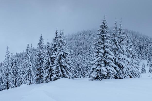 Paisagem misteriosa do inverno, montanhas majestosas com árvore coberto de neve. cartão de foto. cárpatos ucrânia europa