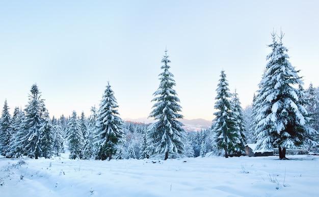 Paisagem montanhosa do pôr do sol de inverno com árvores de abeto e geada (cárpatos, ucrânia)