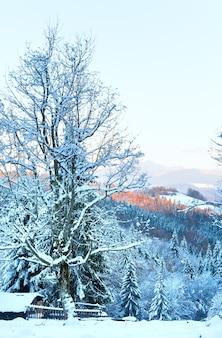 Paisagem montanhosa do pôr do sol de inverno com pinheiros cobertos de neve e geada (cárpatos, ucrânia)