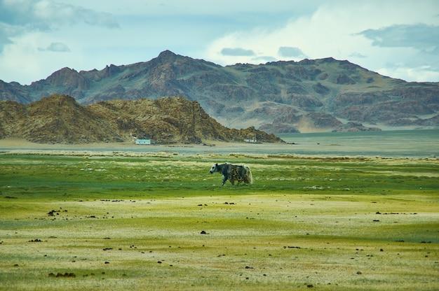 Paisagem natural de iaque pastando, dirigindo-se à passagem de dorbot de ulan-baishint. província de bayan-olgii, no oeste da mongólia.