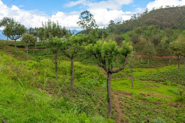 Paisagem natural pitoresca. plantações de chá verde nas terras altas. chá de cultivo