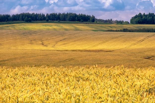 Paisagem natural rural linda de verão com maturação de campos de trigo, vista da área montanhosa.
