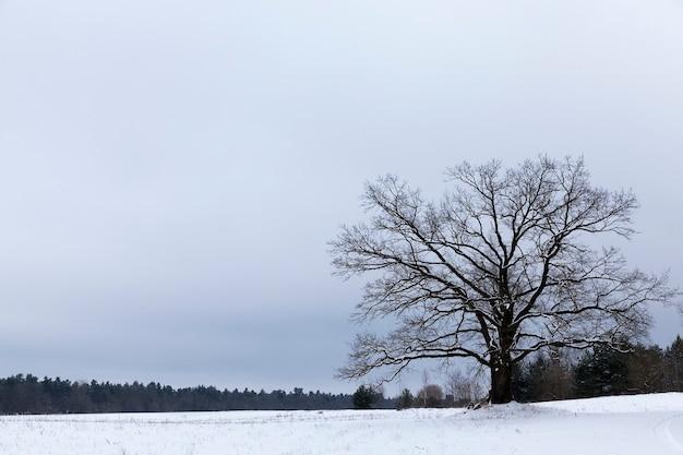 Paisagem nublada de inverno com céu branco, neve e floresta no horizonte, no meio do campo cresce um velho carvalho ramificado