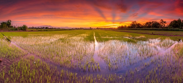 Paisagem panorama do campo de arroz e pôr do sol lindo céu