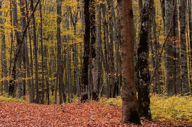 Paisagem panorâmica da floresta de outono cheia de folhas vermelhas e amarelas