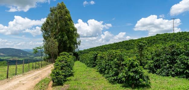 Paisagem panorâmica de plantação de café