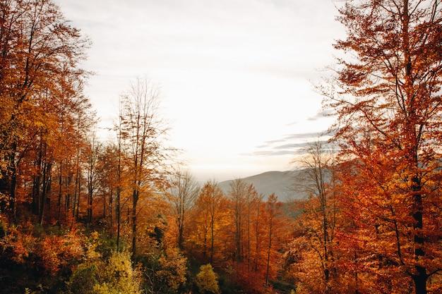 Paisagem por do sol de uma floresta de outono nas montanhas com folhas coloridas e vibrantes na catalunha