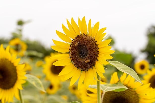Paisagem realista bela planta de girassol amarelo no campo do jardim da fazenda com céu azul com dia nublado, close-up tiro, estilos de vida ao ar livre.