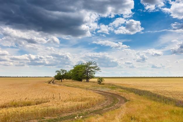 Paisagem rural campo de trigo dourado, estrada entre o campo ao longo das pequenas árvores contra o céu nublado