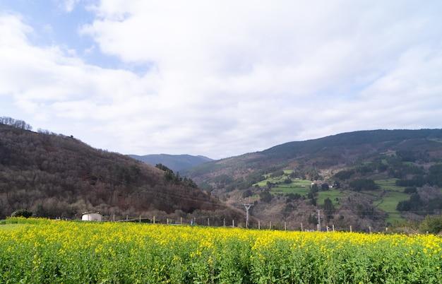 Paisagem rural com campo de nabo com flores amarelas em primeiro plano.