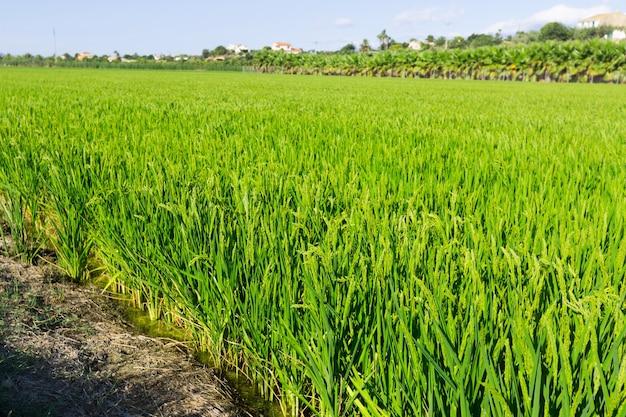 Paisagem rural com campos de arroz