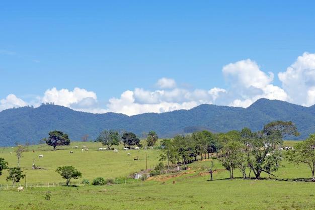 Paisagem rural com gado em pastagens, árvores, colinas e céu azul. estado de são paulo, brasil.