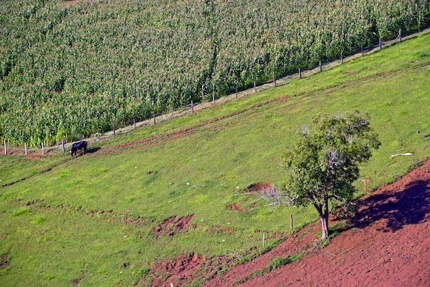Paisagem rural com gado, grama, plantação de milho e árvores. minas gerasi, brasil