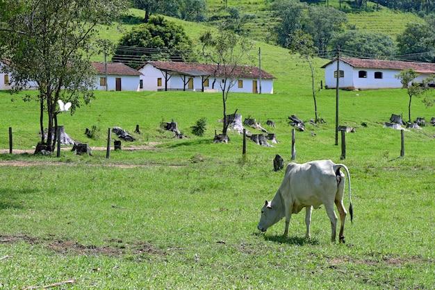 Paisagem rural com gado nelore, árvores e casas