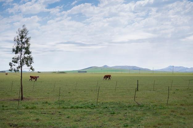 Paisagem rural com vacas pastando, montanhas, céu com nuvens e muito verde