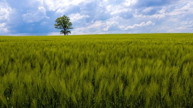 Paisagem rural da letônia com árvore solitária no meio de um campo agrícola verde em um dia ensolarado