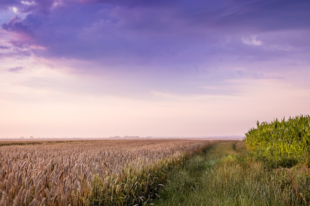 Paisagem rural: um campo de trigo e um céu dramático com nuvens escuras_