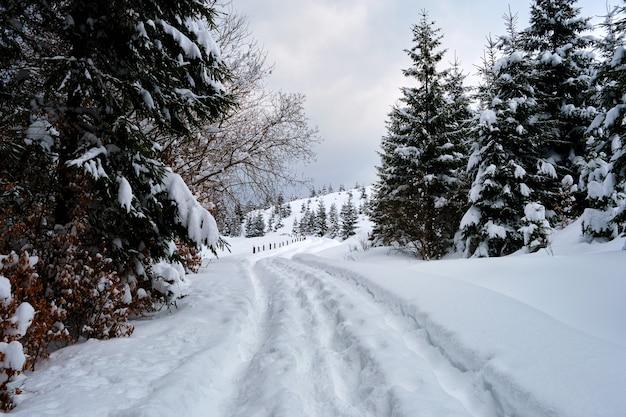 Paisagem temperamental com trilhas e pinheiros cobertos de neve fresca caída na floresta de montanha de inverno, na noite fria e sombria.