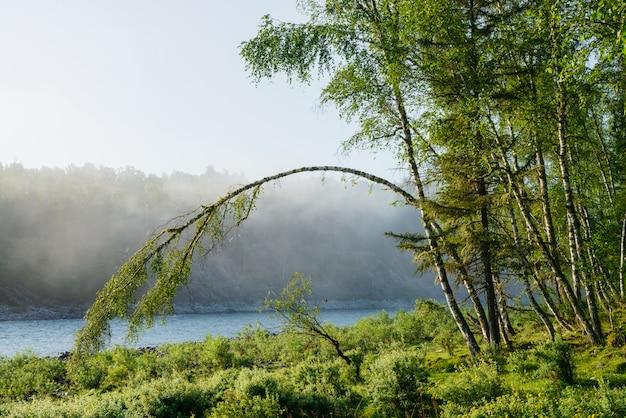 Paisagem verde maravilhosa manhã com árvore dobrada em forma de arco perto do rio da montanha no nevoeiro. birch se inclinou para o chão em arco na névoa. cenário tranquilo de frescor matinal agradável. vista inspiradora.
