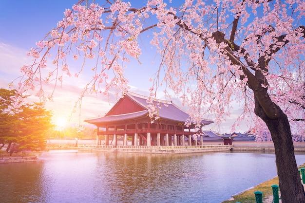 Palácio gyeongbokgung com cerejeiras em flor na primavera na cidade de seul, na coréia