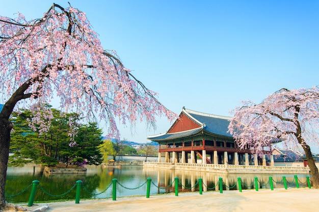 Palácio gyeongbokgung com flor de cerejeira na primavera, coreia.