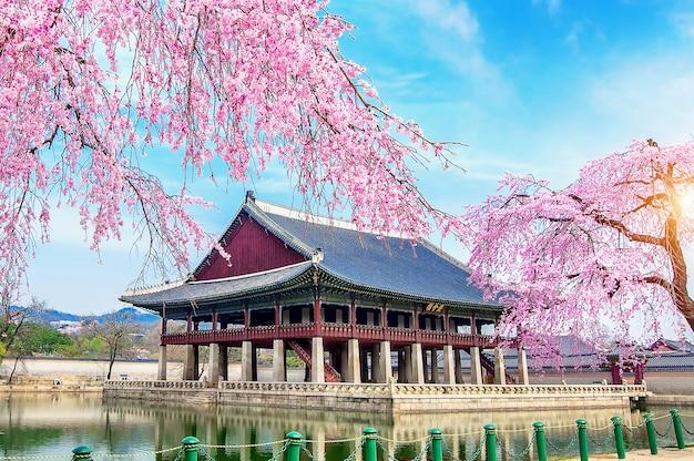 Palácio gyeongbokgung com flor de cerejeira na primavera, seul, na coréia.
