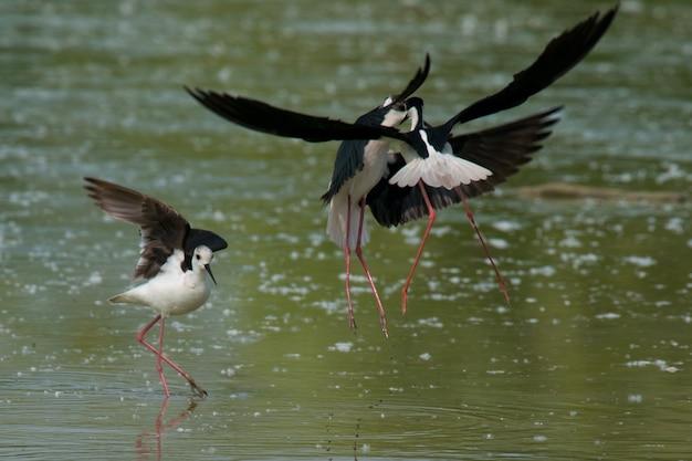 Palafitas de asas negras lutando