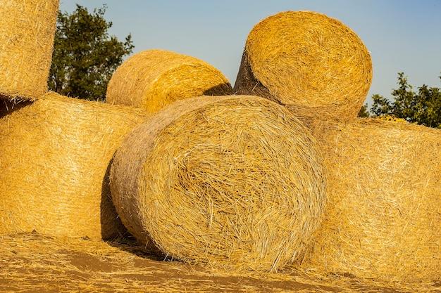 Palha coletada em rolos no campo após a colheita do trigo colheita no outono