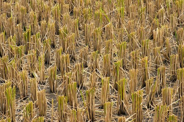 Palha de arroz após colheita no campo