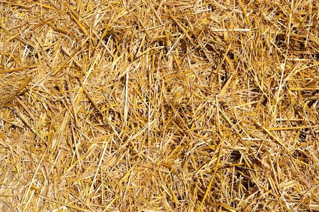 Palha de cereais logo após a colheita