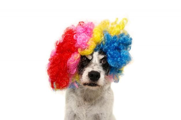 Palha do cão que quer a peruca colorida para o ano novo ou o partido do carnaval. isolado