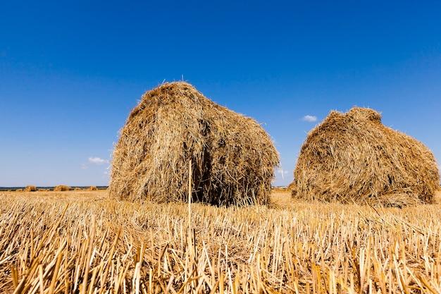 Palha do monte de feno no campo agrícola após a colheita.