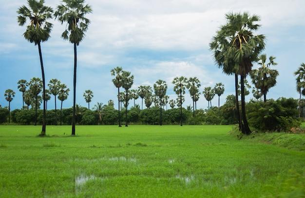 Palm toddy no campo de arroz