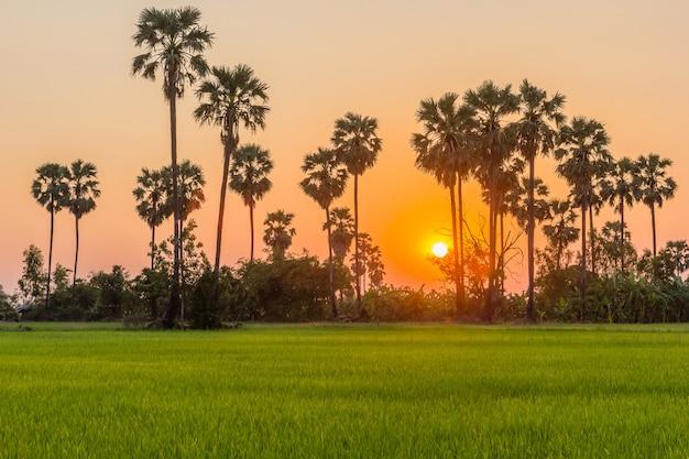 Palma de açúcar e arroz arquivado ao pôr do sol
