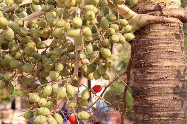 Palma de bétel na árvore