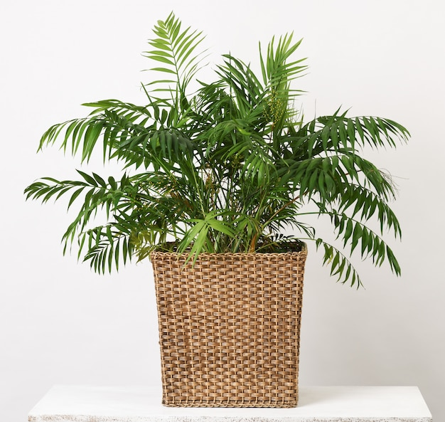 Palma de planta de casa bonita