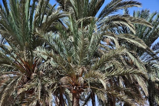 Palma do mar vermelho da arábia saudita
