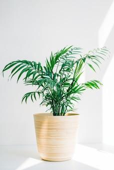 Palma verde chamaedorea em pote de bambu na mesa branca na luz solar.