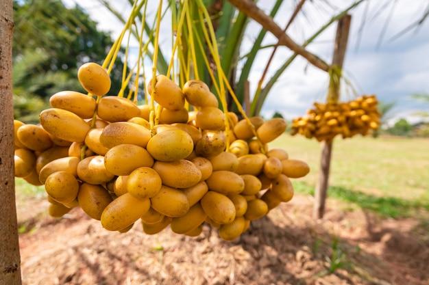 Palmas de data que têm um lugar importante na agricultura desértica avançada. colheita, tamareira. frutos crus da palma de data (phoenix dactylifera) que crescem em uma árvore.