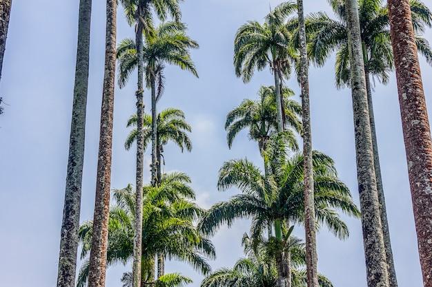 Palmeira brasileira