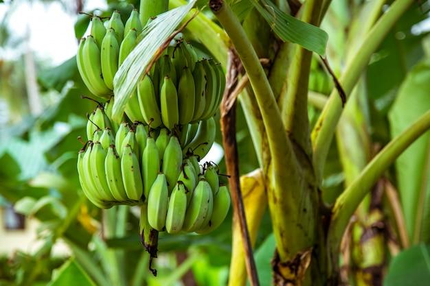 Palmeira com bananas verdes