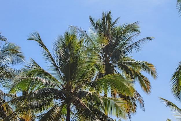 Palmeira com coco