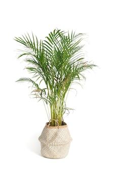 Palmeira com folhas de cirro em um vaso decorativo isolado em um fundo branco.